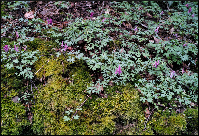 Moos und Frühlingsblüher