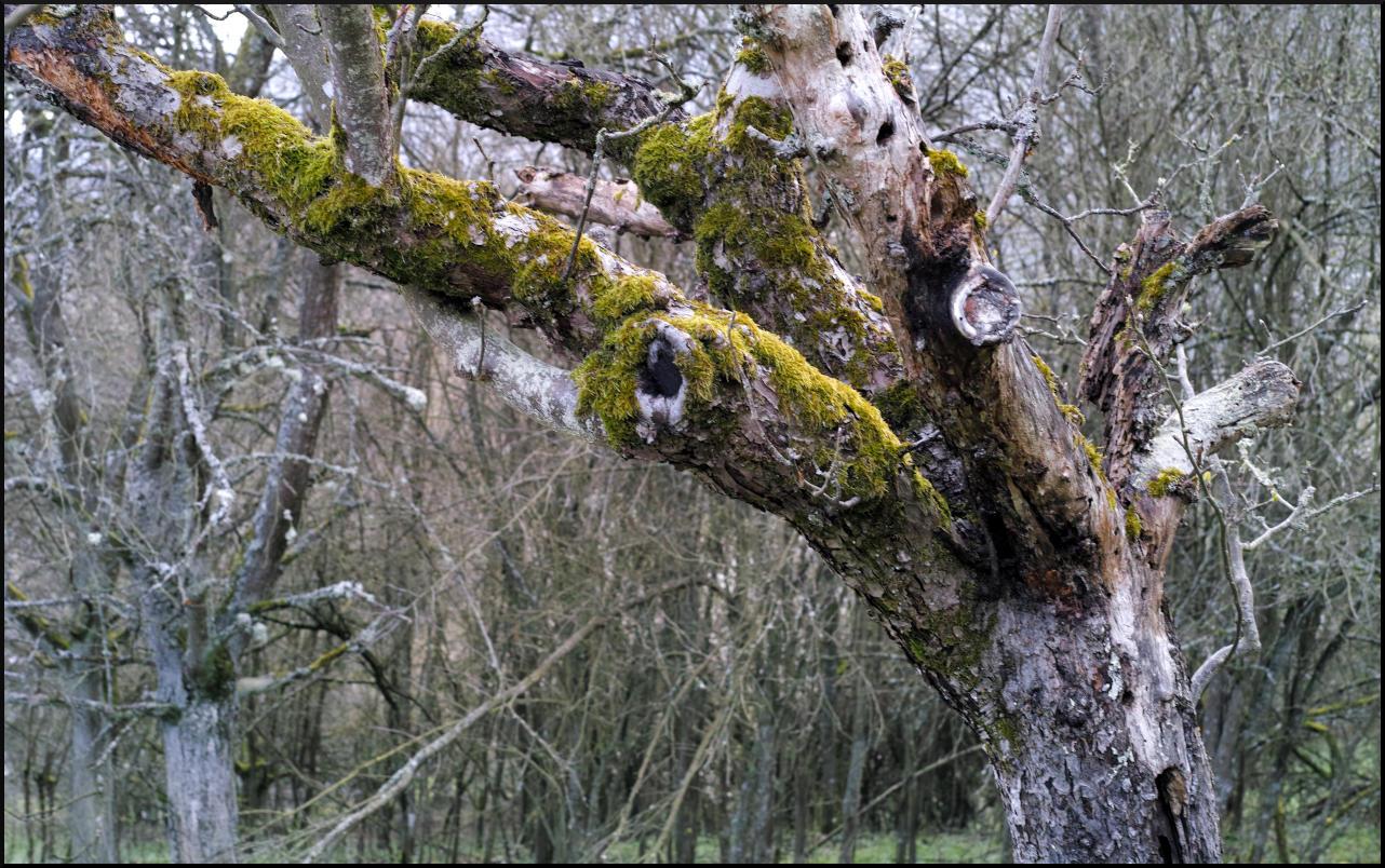 Alter Obstbaum mit Moos