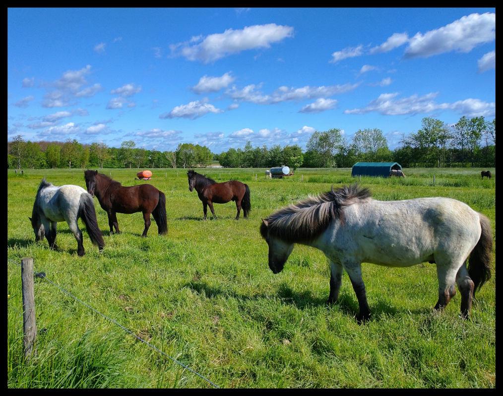 Zwei neugierige und zwei gelassene Pferde